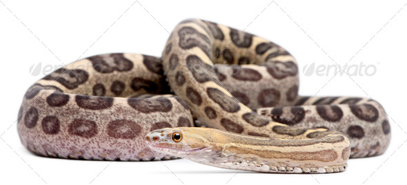 Scaleless Corn Snake, Pantherophis Guttatus, in front of white background - Stock Photo - Images