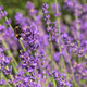 Bumblebee on a lavender flower - PhotoDune Item for Sale