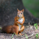 Cute red squirrel in autumn forerst - PhotoDune Item for Sale