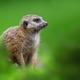 Meerkat standing looking for something. Suricata suricatta wild predators in natural environment. - PhotoDune Item for Sale