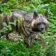 Striped hyena, Hyaena hyaena. Animal in the nature habitat - PhotoDune Item for Sale