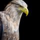 White-tailed eagle portrait on black background - PhotoDune Item for Sale