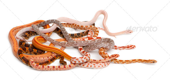 Scaleless Corn Snakes, Pantherophis Guttatus, in front of white background - Stock Photo - Images