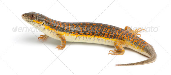 Round Island skink or Telfair's skink, Leiolopisma telfairii, in front of white background - Stock Photo - Images