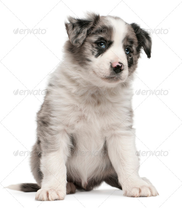 Blue Merle Border Collie puppy, 6 weeks old, sitting in front of white background - Stock Photo - Images