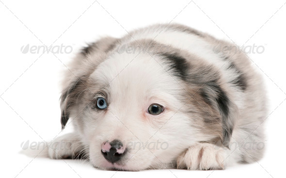 Blue Merle Border Collie puppy, 6 weeks old, lying in front of white background - Stock Photo - Images