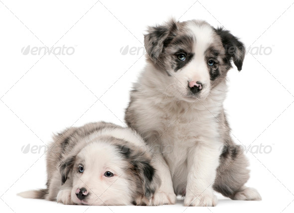 Blue Merle Border Collie puppies, 6 weeks old, in front of white background - Stock Photo - Images