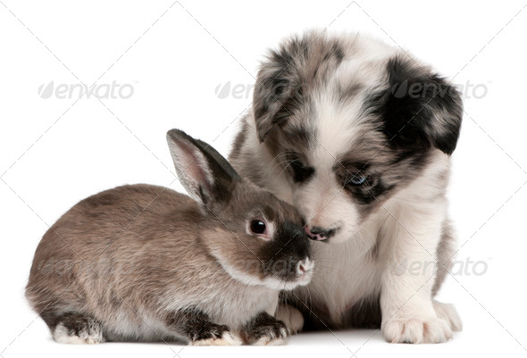 Blue Merle Border Collie puppy, 6 weeks old, and a rabbit in front of white background - Stock Photo - Images