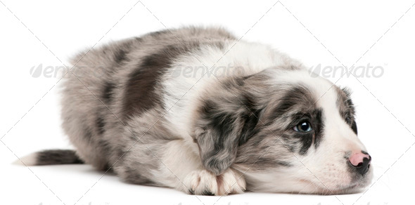 Border Collie puppy, 6 weeks old, lying in front of white background - Stock Photo - Images