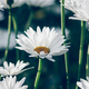 White camomiles daisy flowers - PhotoDune Item for Sale