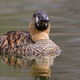 White-backed Duck - PhotoDune Item for Sale