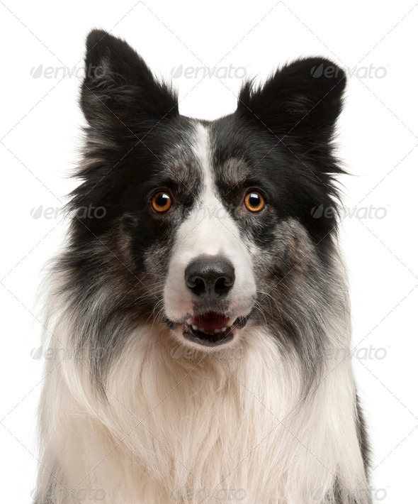 Close-up of Border Collie in front of white background - Stock Photo - Images