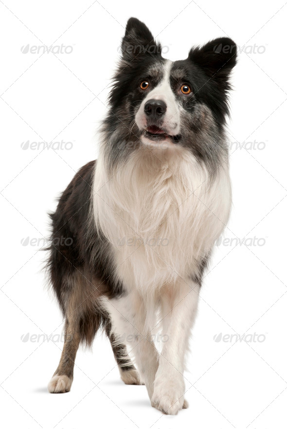 Border Collie standing in front of white background - Stock Photo - Images
