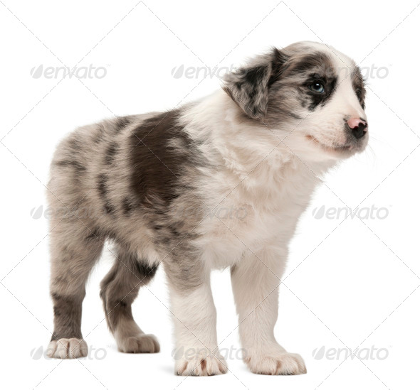 Border Collie puppy standing in front of white background - Stock Photo - Images