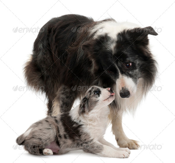 Border Collies interacting in front of white background - Stock Photo - Images