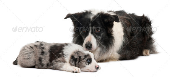 Border Collies lying in front of white background - Stock Photo - Images