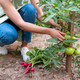 Young woman in the garden hold green tomatoes. - PhotoDune Item for Sale