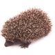 Little hedgehog with spiky  on while background - PhotoDune Item for Sale