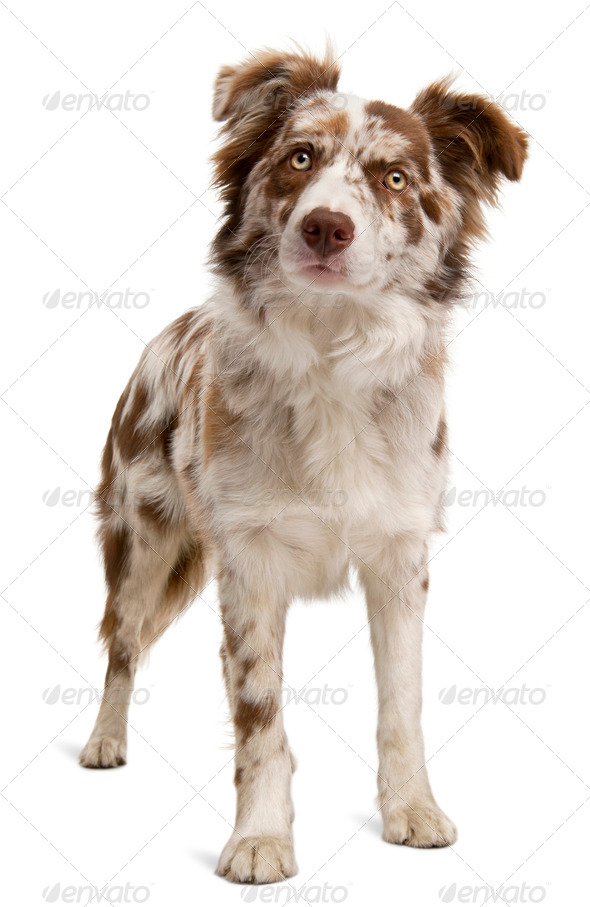 Red Merle Border Collie, 6 months old, in front of white background - Stock Photo - Images