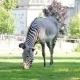Zebras - VideoHive Item for Sale