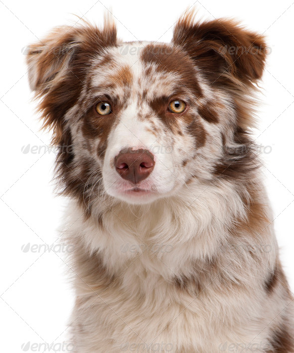 Close-up of Red Merle Border Collie, 6 months old, in front of white background - Stock Photo - Images