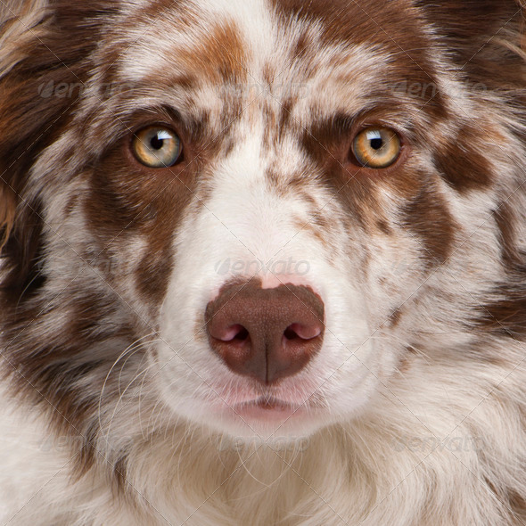 Close-up of Red Merle Border Collie, 6 months old - Stock Photo - Images