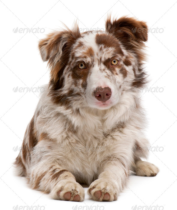 Red Merle Border Collie, 6 months old, lying in front of white background - Stock Photo - Images