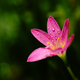 Close-up view of little pink flower with dew drops on the petals - PhotoDune Item for Sale