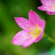 Close-up view of little pink flower with dewdrops on the petals - PhotoDune Item for Sale