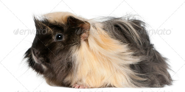 Young Peruvian guinea pig, 6 months old, in front of white background - Stock Photo - Images