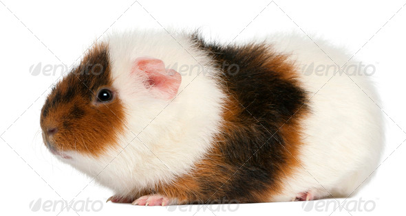 Teddy guinea pig, 9 months old, in front of white background - Stock Photo - Images