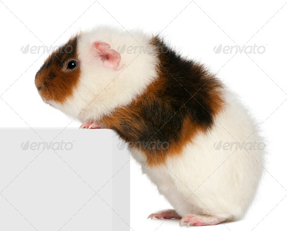 Teddy guinea pig, 9 months old, climbing on box in front of white background - Stock Photo - Images