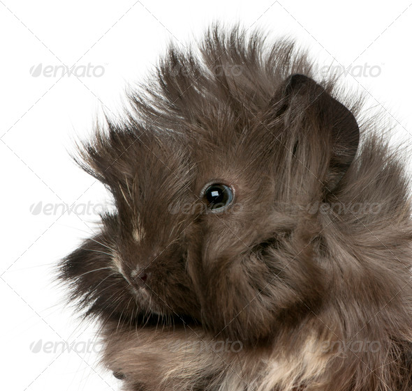 Close-up of young Peruvian guinea pig, 2 months old, in front of white background - Stock Photo - Images