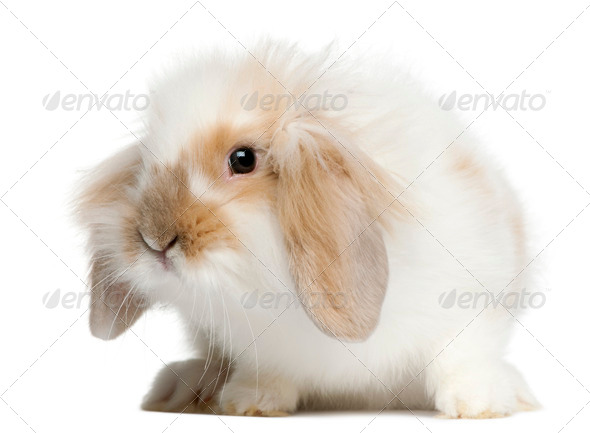 Lop rabbit, 6 months old, in front of white background - Stock Photo - Images