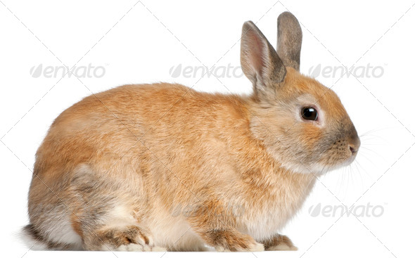 Dwarf rabbit, 6 months old, in front of white background - Stock Photo - Images