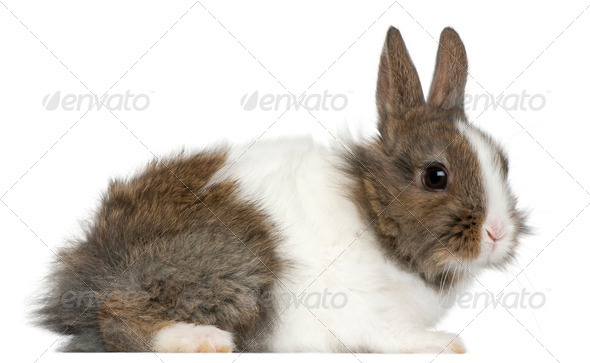 Young Lionhead rabbit, 2 months old, in front of white background - Stock Photo - Images