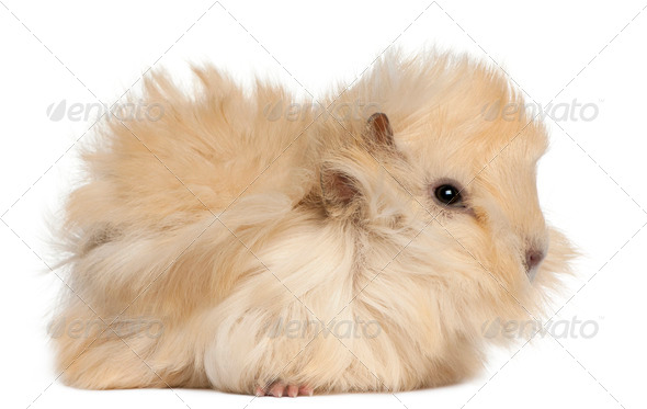 Young Peruvian guinea pig, 2 months old, in front of white background - Stock Photo - Images