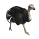 Ostrich Walking/Running - VideoHive Item for Sale