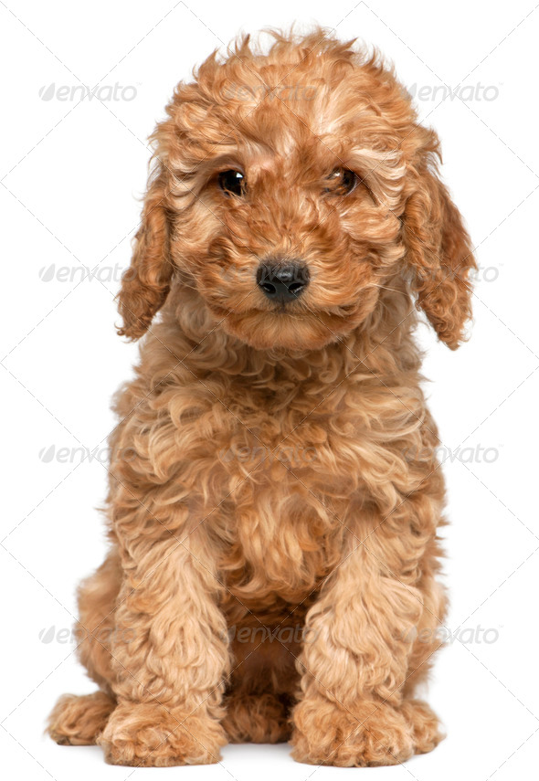 Poodle puppy, 2 months old, sitting in front of white background - Stock Photo - Images