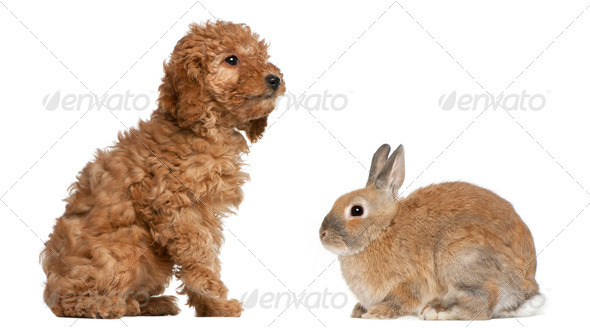 Poodle puppy, 2 months old, and rabbit in front of white background - Stock Photo - Images
