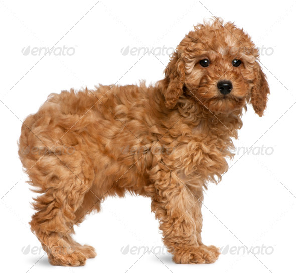 Poodle puppy, 2 months old, standing in front of white background - Stock Photo - Images