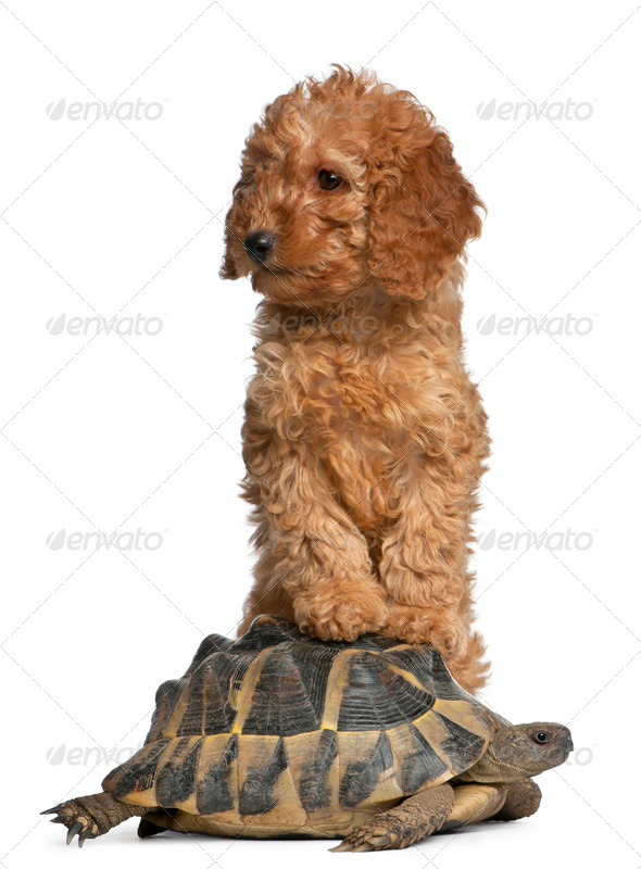Poodle puppy, 2 months old, and a turtle in front of white background - Stock Photo - Images