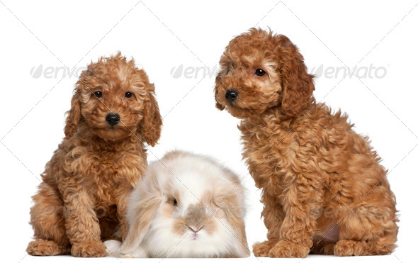 Poodle puppies, 2 months old, and rabbit in front of white background - Stock Photo - Images