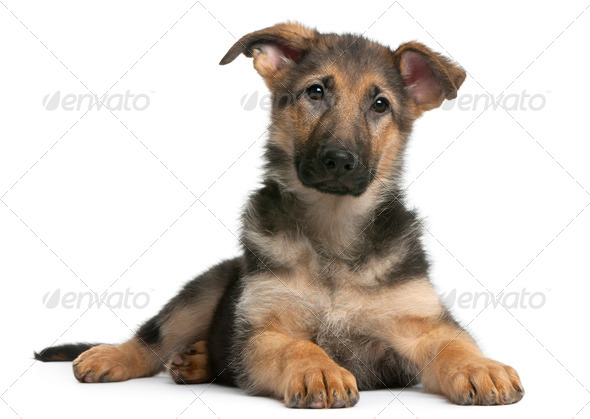 German Shepherd puppy, 4 months old, lying in front of white background - Stock Photo - Images