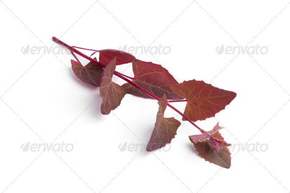 Fresh branch of Garden Orache - Stock Photo - Images