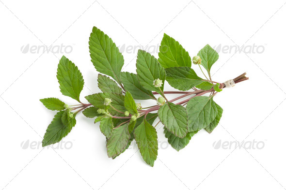 Fresh blooming aztec sweet herb - Stock Photo - Images