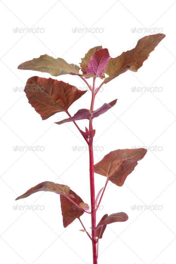 Fresh branch of Garden Orache - Stock Photo - Images