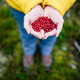 Red lingonberry berries. Tasty berries in woman hands. - PhotoDune Item for Sale