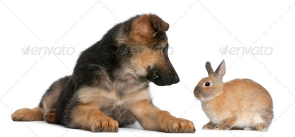 German Shepherd puppy, 4 months old, and a rabbit in front of white background - Stock Photo - Images