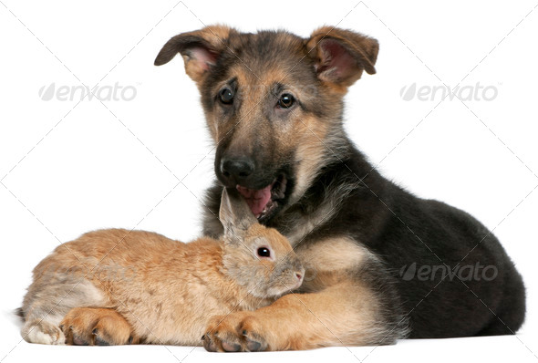 German Shepherd puppy, 4 months old, licking a rabbit in front of white background - Stock Photo - Images